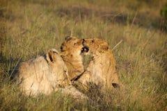 El jugar de los cachorros de león Foto de archivo libre de regalías
