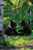 El jugar de los cachorros de oso de Brown Fotografía de archivo