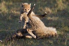 El jugar de los cachorros del guepardo Imagen de archivo libre de regalías