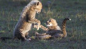 El jugar de los cachorros del guepardo Imágenes de archivo libres de regalías