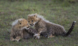 El jugar de los cachorros del guepardo Fotografía de archivo libre de regalías
