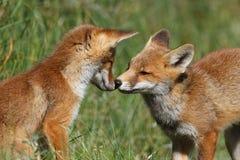 El jugar de los cachorros del zorro rojo Imagen de archivo libre de regalías