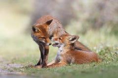 El jugar de los cachorros del zorro rojo Fotografía de archivo