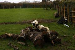 El jugar de los corderos del tiempo de primavera Fotos de archivo