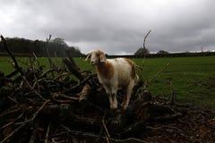 El jugar de los corderos del tiempo de primavera Imagenes de archivo