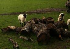 El jugar de los corderos del tiempo de primavera Fotos de archivo libres de regalías