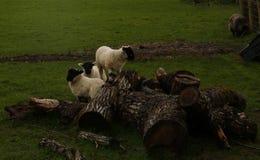 El jugar de los corderos del tiempo de primavera Imágenes de archivo libres de regalías