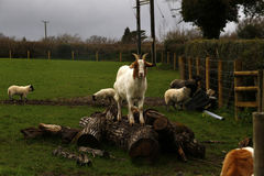 El jugar de los corderos del tiempo de primavera Fotografía de archivo