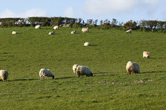 El jugar de los corderos del tiempo de primavera Imagen de archivo