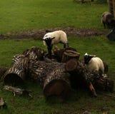El jugar de los corderos del tiempo de primavera Fotografía de archivo libre de regalías