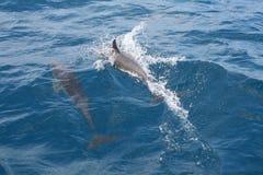 El jugar de los delfínes Foto de archivo libre de regalías