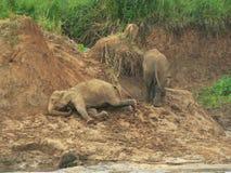 El jugar de los elefantes Fotos de archivo