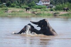 El jugar de los elefantes fotografía de archivo