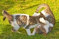 El jugar de los gatos Imagen de archivo libre de regalías
