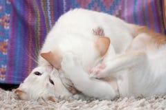 el jugar de los gatos Foto de archivo