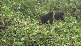 El jugar de los gorilas de montaña almacen de video