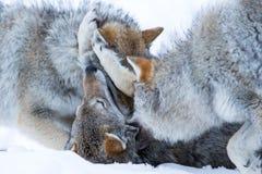 El jugar de los lobos foto de archivo libre de regalías
