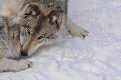 El jugar de los lobos de madera Imágenes de archivo libres de regalías