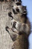 El jugar de los mapaches Fotos de archivo