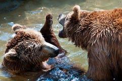 El jugar de los osos de Brown imagen de archivo libre de regalías