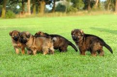 El jugar de los pastores alemanes Fotografía de archivo