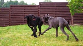 El jugar de los perritos Fotografía de archivo