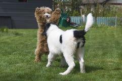 El jugar de los perritos de Landseer ECT y de Cockapoo Imagen de archivo libre de regalías