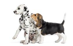 El jugar de los perritos del dalmatian y del beagle, imagen de archivo