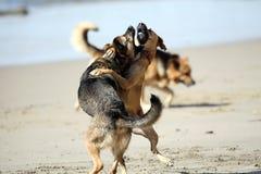 El jugar de los perros áspero Fotos de archivo libres de regalías