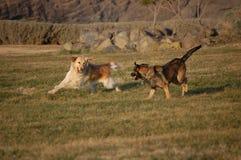 El jugar de los perros Fotografía de archivo