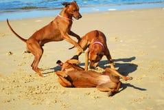 El jugar de los perros Foto de archivo libre de regalías