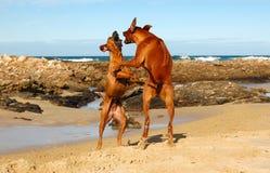 El jugar de los perros de la playa Imagen de archivo