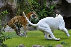 El jugar de los tigres Fotografía de archivo libre de regalías