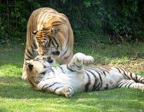 El jugar de los tigres de Bengala Foto de archivo libre de regalías