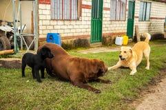 El jugar de tres Labradors Imagenes de archivo