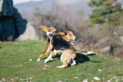El jugar del beagle Imagen de archivo libre de regalías