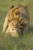 El jugar del cachorro de león Foto de archivo