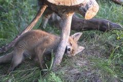 El jugar del cachorro del Fox Fotografía de archivo libre de regalías