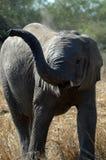 El jugar del elefante Fotos de archivo