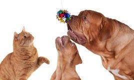 El jugar del gato y de dos perros Fotos de archivo libres de regalías