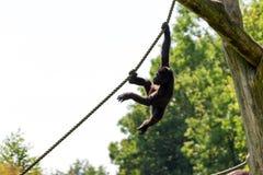 El jugar del gorila del bebé Fotos de archivo