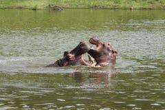 El jugar del hipopótamo fotos de archivo