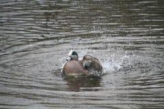 El jugar del pato silbador americano fotos de archivo