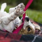 El jugar del perrito Imagen de archivo