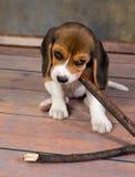 El jugar del perrito del beagle Fotos de archivo