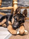 El jugar del perrito del pastor alemán Foto de archivo libre de regalías