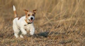 El jugar del perrito - perro casero feliz que corre en la hierba fotos de archivo