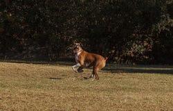 El jugar del perro de la mezcla del boxeador Foto de archivo