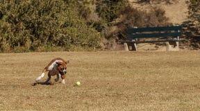 El jugar del perro de la mezcla del boxeador Imagen de archivo libre de regalías