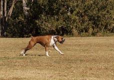 El jugar del perro de la mezcla del boxeador Imágenes de archivo libres de regalías